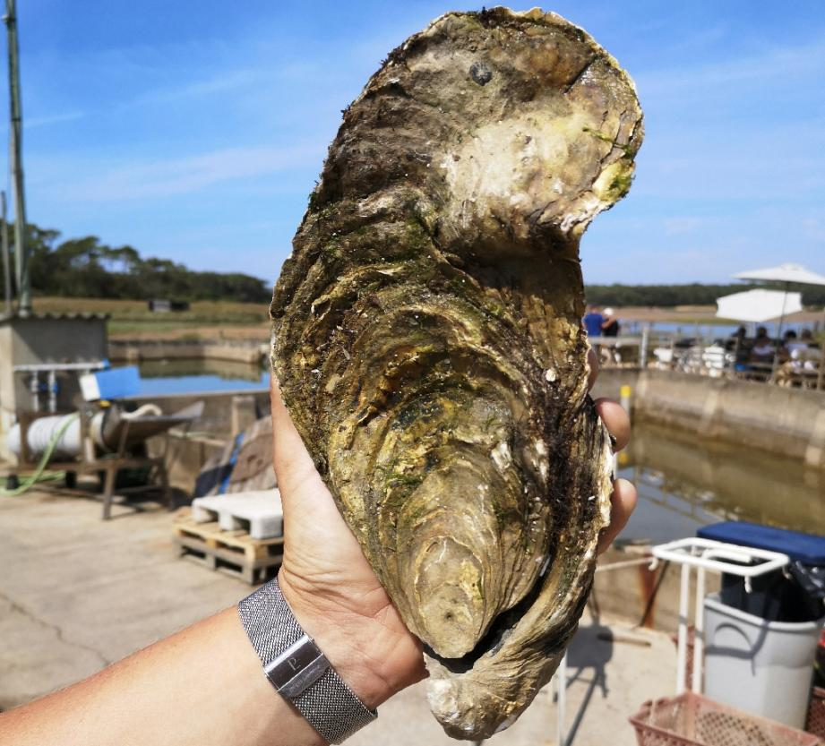 Photo fournie le 8 août 2019 par Les Viviers de la Guittière d'une huître géante pesant 1,440 kg à Talmont-Saint-Hilaire (Vendée)