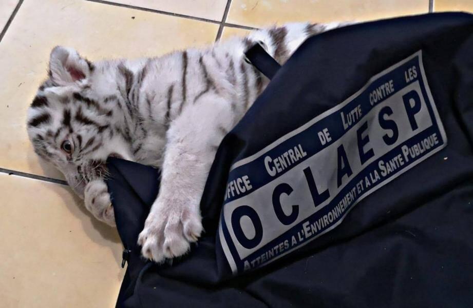 En mai dernier, un bébé tigre blanc a été découvert au domicile d'un Varois, trafiquant présumé d'animaux sauvages.