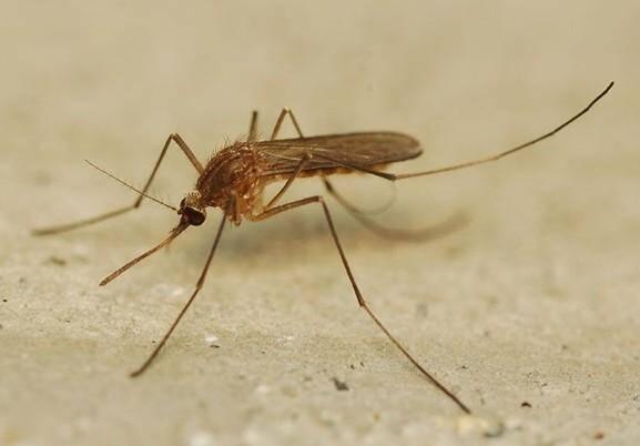 Le moustique culex vecteur du virus West Nile