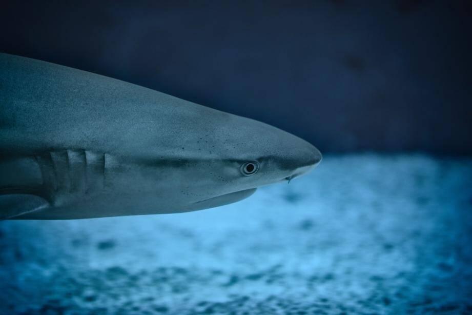 Un requin. Illustration.