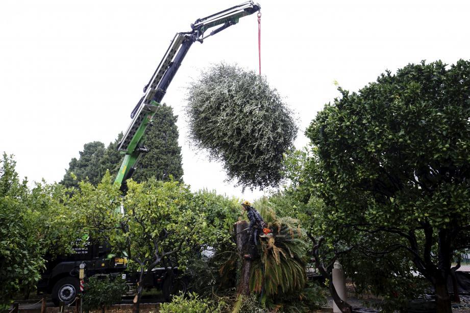 Hier matin, des équipes spécialisées ont abattu les trois oliviers dans le jardin du palais de Carnolès, dont un était porteur de la bactérie.