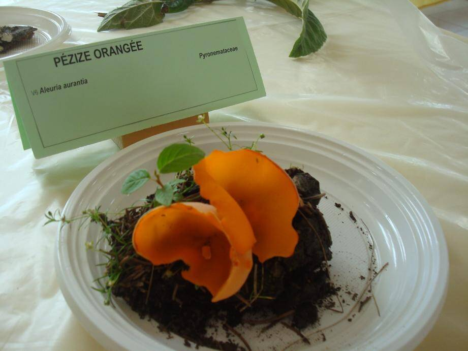 Une exposition didactique qui attirera l'attention sur les confusions possibles entre comestibles et toxiques.