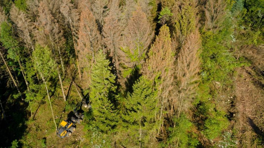 Les arbres de la forêt domaniale de Verdun (est de la France) souffrent de la scolyte du sapin, le 22 août 2019