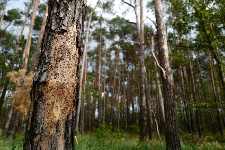 58% des espèces d'arbres endémiques, qui ne poussent qu'en Europe, sont menacées d'extinction