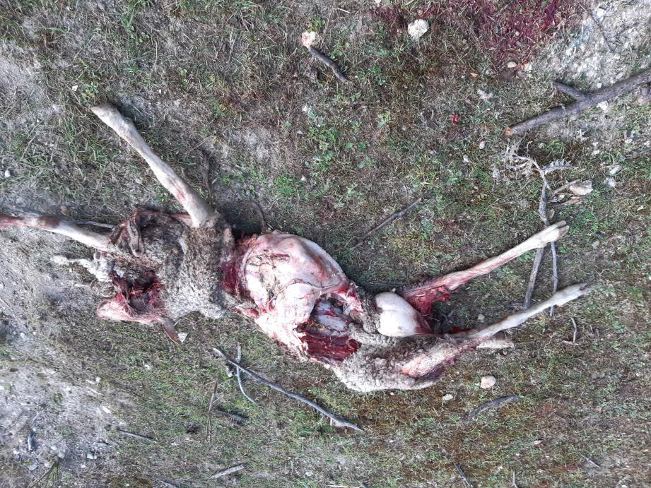 Le loup aurait attaqué les moutons d'un particulier, habitant aux Tuves.(DR)