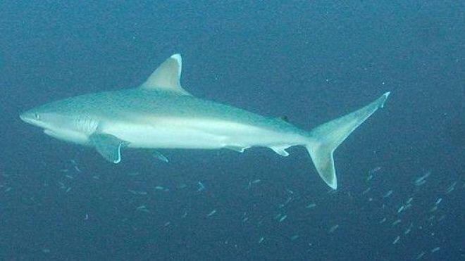 Illustration, ici un requin pointe blanche dit albi.