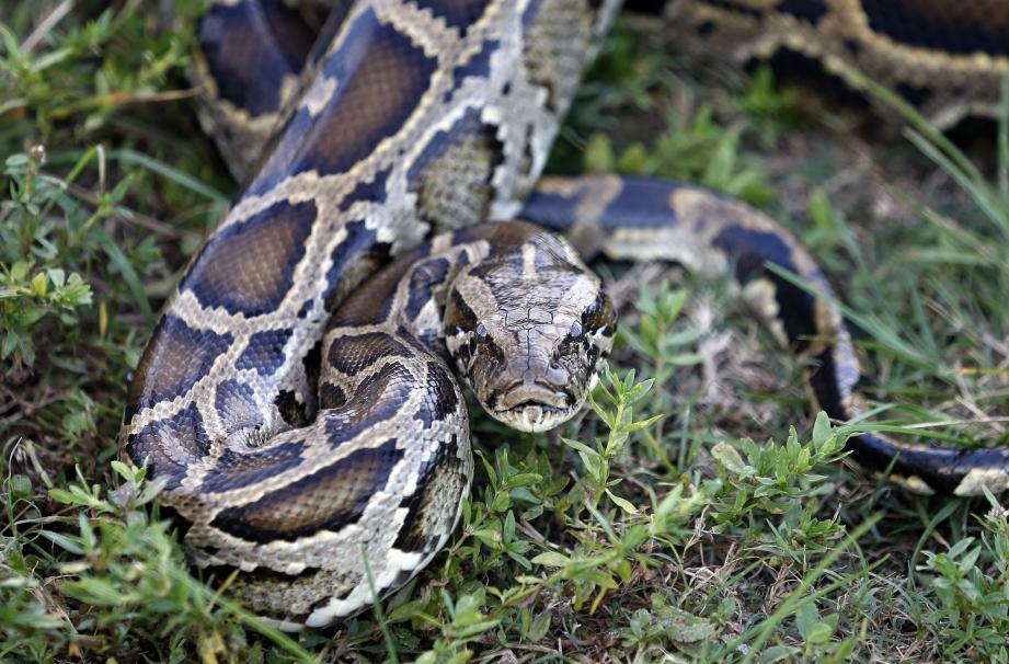 Illustration python.