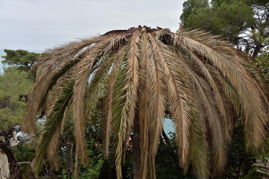 Aujourd'hui, sans traitement et entretien, un palmier est voué à un sort funeste.