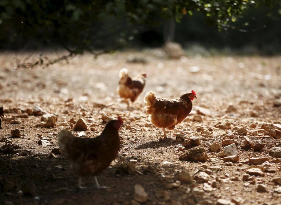 La filière poulets de chair est la plus dynamique en agriculture biologique.