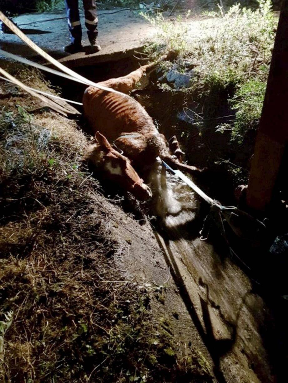 À l'arrivée du groupe de sauvetage animalier, l'animal en fâcheuse posture était sanglé, pour éviter de s'enfoncer davantage dans le fossé.
