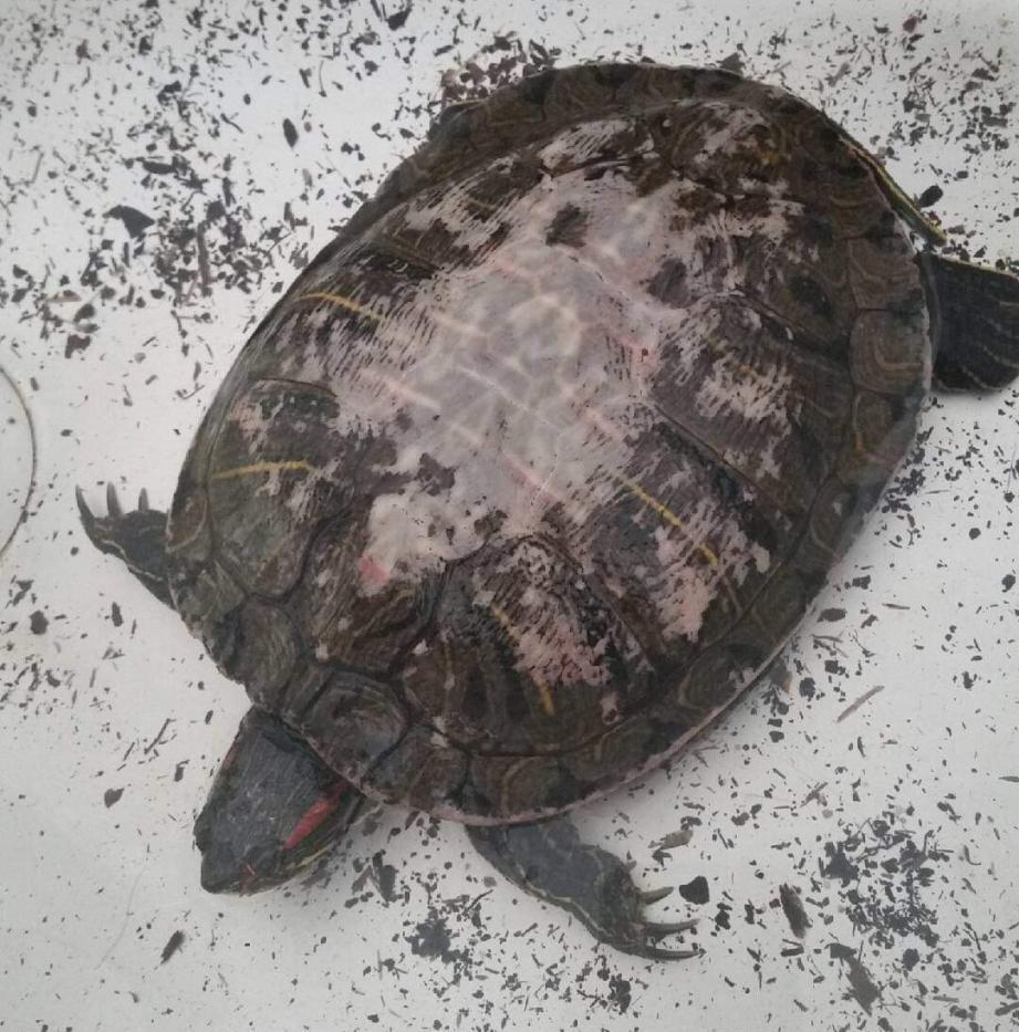 La tortue avait été confiée à l'association Au Service des Animaux (ASA) 06.