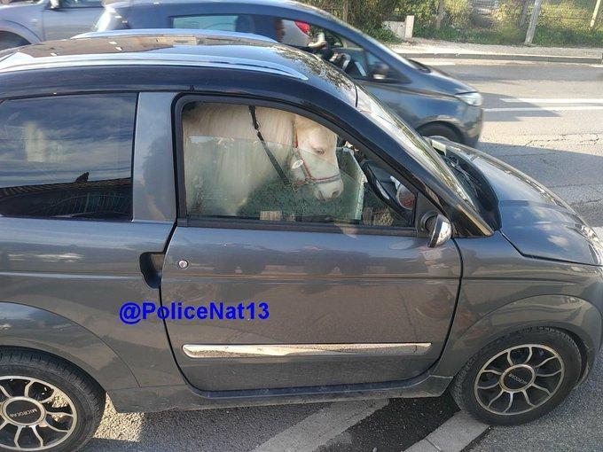 La voiture a été aménagée avec des planches en bois pour accueillir l'animal.