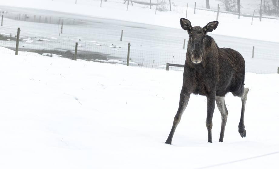 La réserve biologique située sur la commune d'Andon accueille de nouvelles pensionnaires arrivées tout droit de Suède.