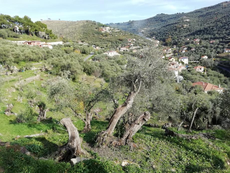 Christian Gastaldi, 26 ans, cultive les oliviers en Ligurie (Italie)