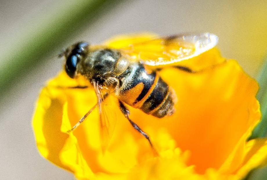 La vente de deux pesticides accusés de présenter un risque pour les abeilles interdite en France