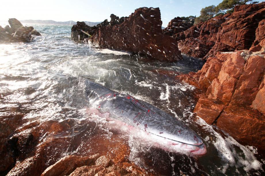 Le baleineau échoué dans une crique de l'Estérel a succombé dans la nuit de vendredi à hier après toute une journée d'agonie.