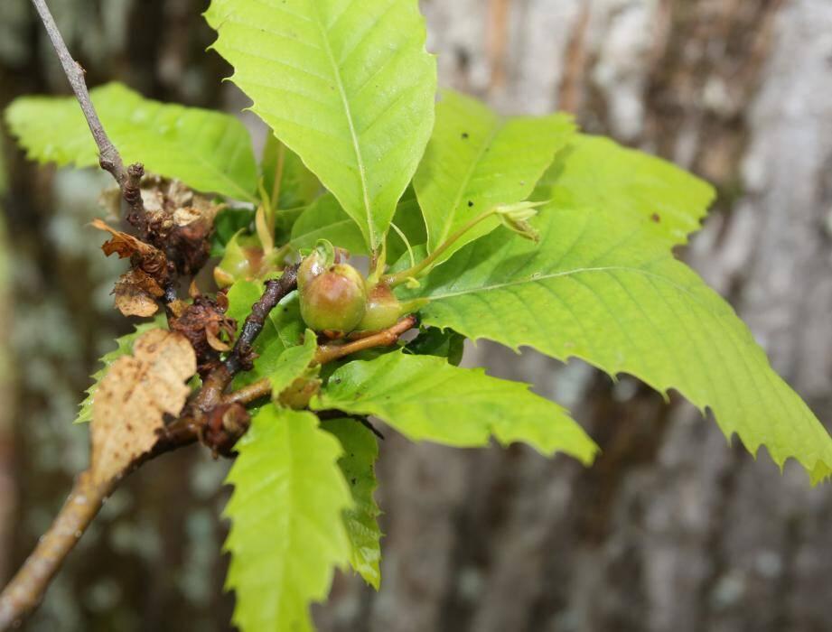 Ici, les bourgeons séchés ont subi les foudres du cynips de châtaignier.