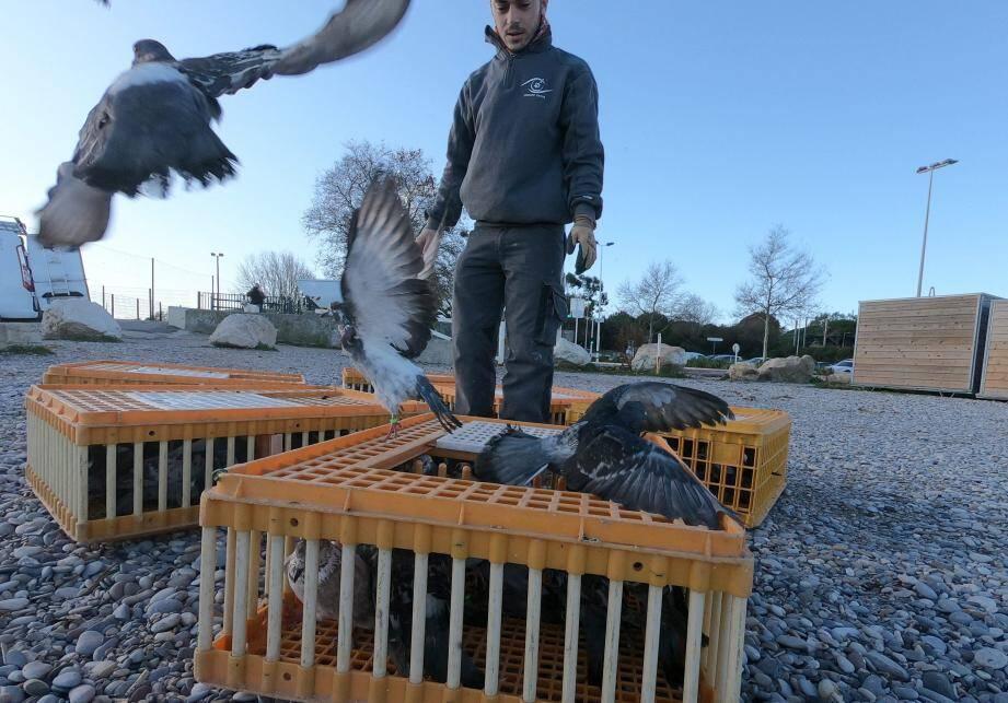 Une fois stérilisés, les pigeons sont relâchés depuis la plage du Fort Carré.