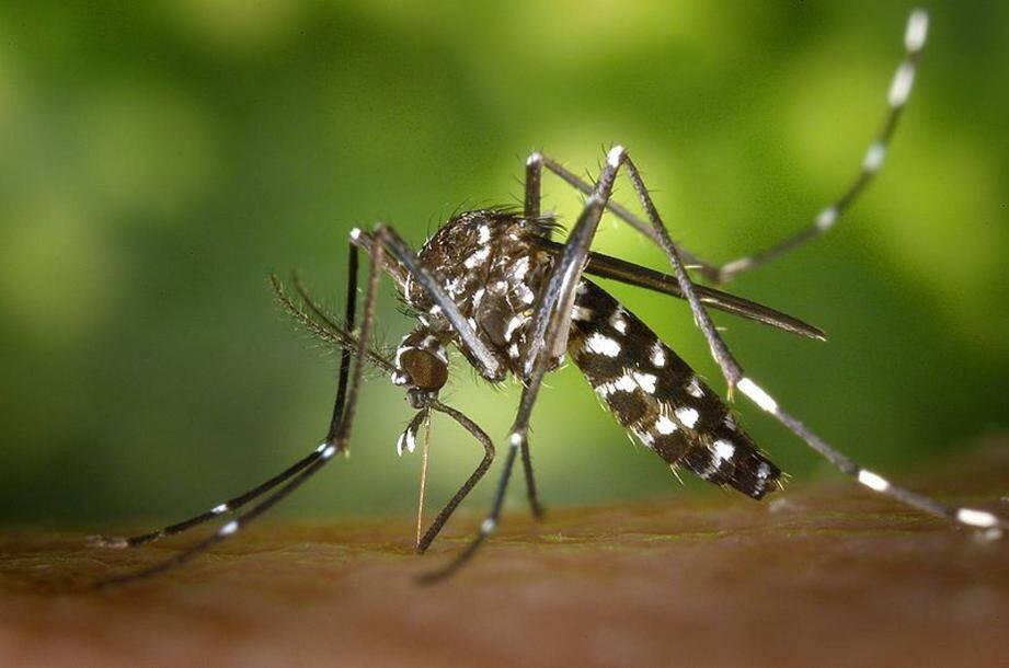 Illustration moustique tigre.