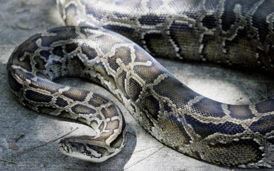 Image d'illustration d'un python.