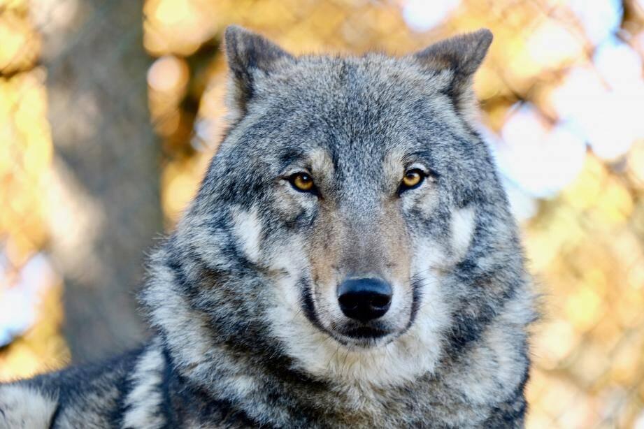 Un loup (image d'illustration) a été abattu fin décembre à La Croix-sur-Roudoule.