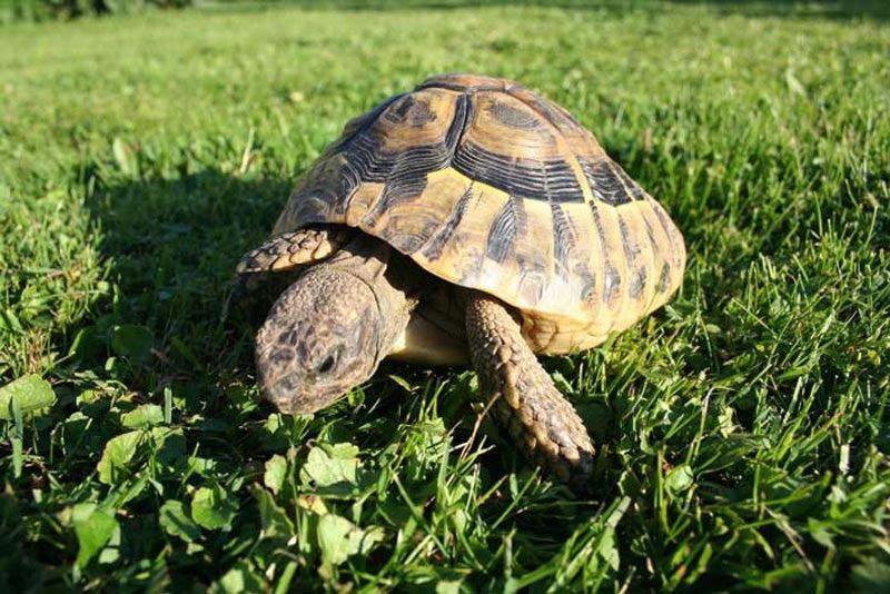 La tortue d'Hermann est l'une des espèces animales peuplant certains secteurs du Var.