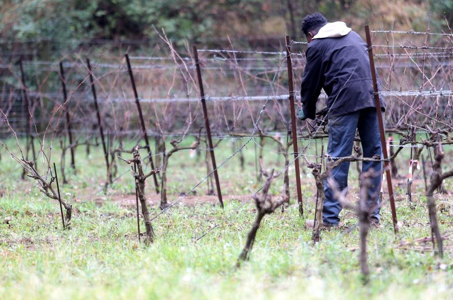 Souleymane a travaillé dans le maraîchage avant de commencer sa formation viticole au domaine de Coulombaud, à Méounes. « Aujourd'hui, je suis content quand je travaille ».