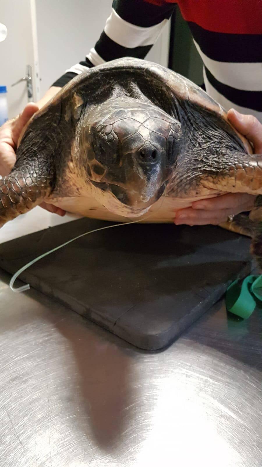 La température corporelle de la tortue caouanne est remontée depuis son arrivée au Centre.(DR)