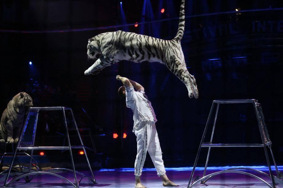Sergey Nestorov accompagne ses tigres blancs avec une confiance mutuelle.