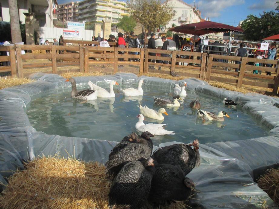 Les animaux de la ferme s'installent à Rocheville le temps d'un week-end.