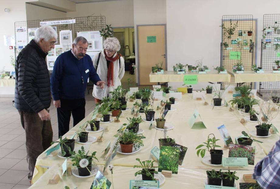 La pluie et l'absence de gel ont créé un terrain propice aux salades présentées par les botanistes de l'association botanique et mycologique de la Siagne.