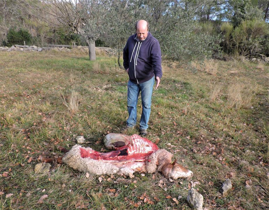 Selon plusieurs témoignages, les loups ont été aperçus en début de semaine avant à la sortie du village de Fayence, au quartier du Lac, tout proche de celui de Léouvé.