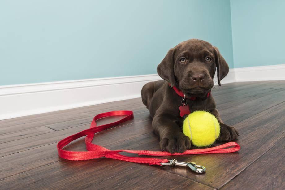 ll est conseillé de familiariser son chien à son équipement durant des moments de détente ou de jeux.