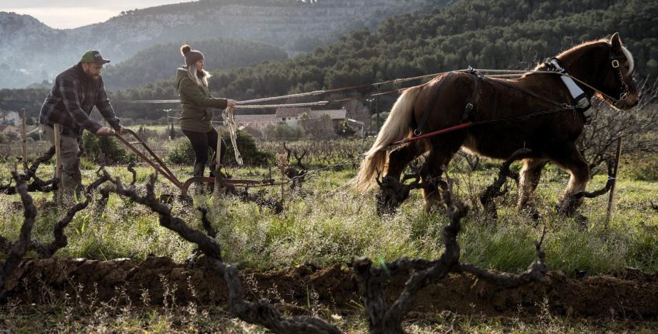 Travailler la vigne avec un cheval... Une expérience que Pauline et Clément comptent bien renouveler.