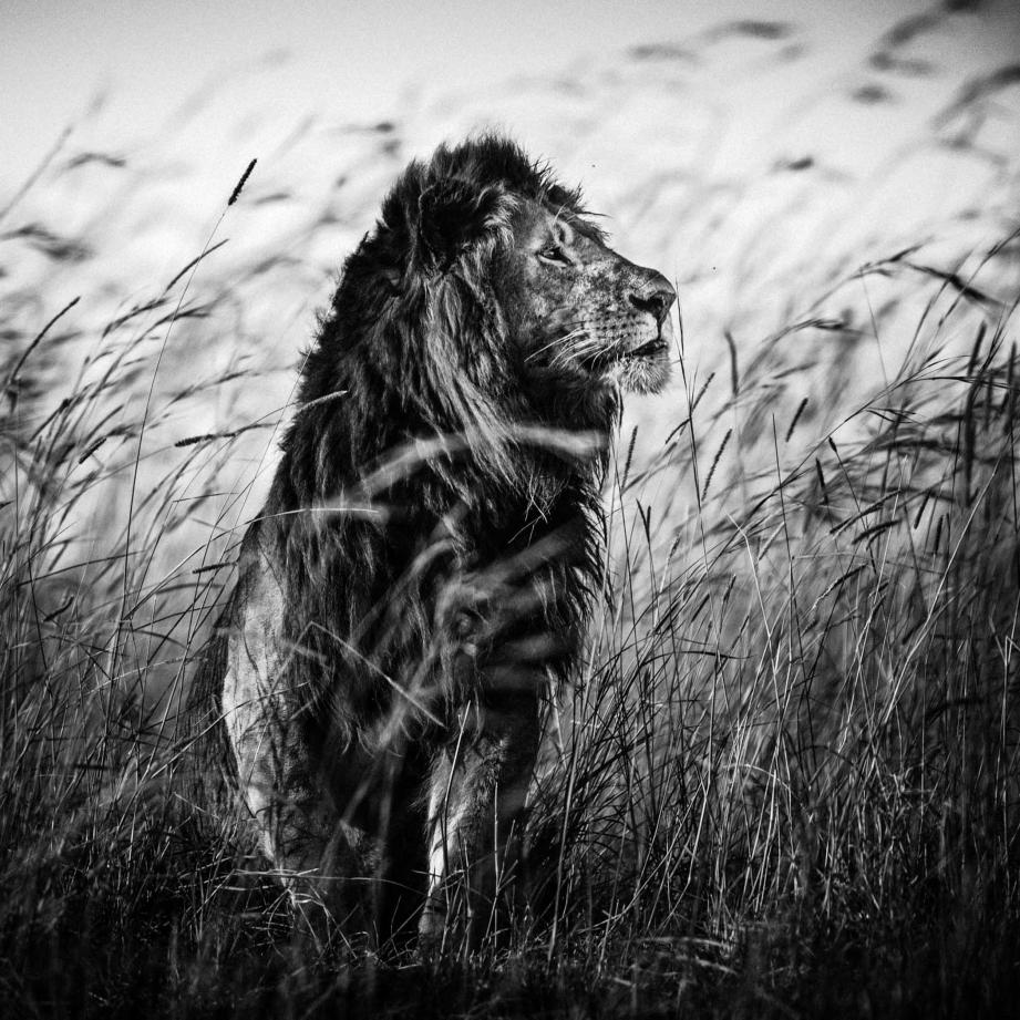 """Lion in the grass"", Kenya 2013."