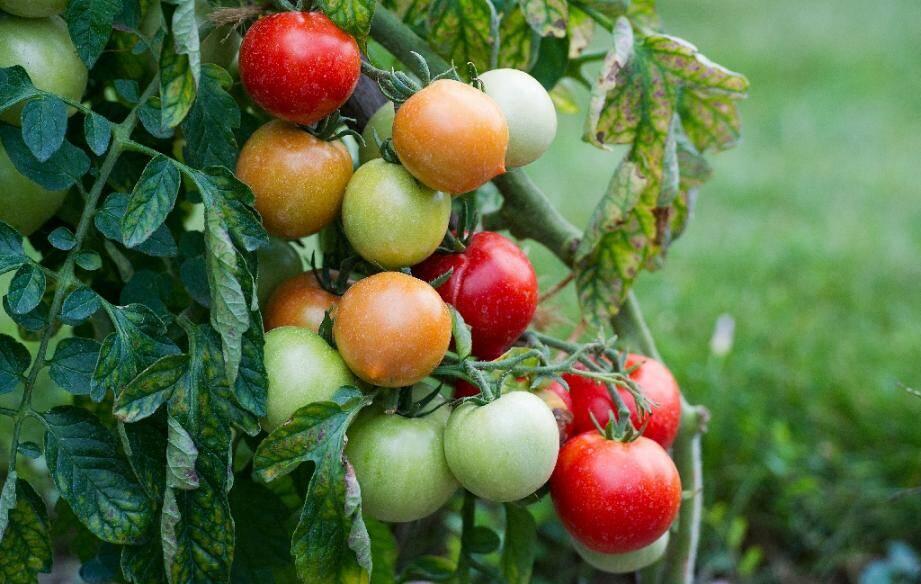 """Le ministère de l'Agriculture annonce la mise en place une """"surveillance renforcée"""" pour protéger le territoire français d'un nouveau virus, dangereux pour les plantes potagères, notamment la tomate."""