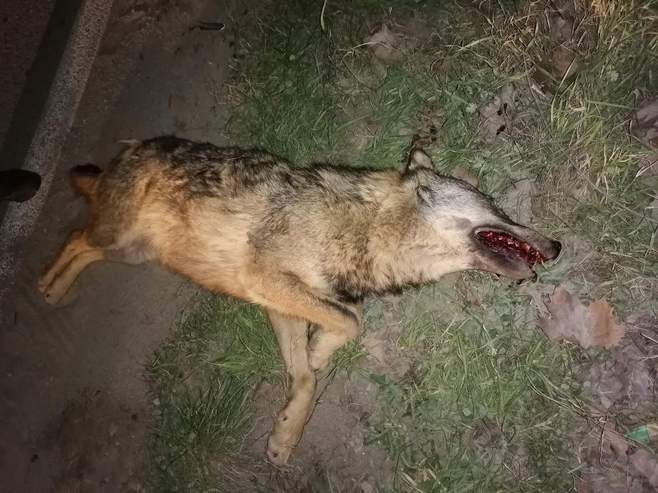 Il s'agirait d'un loup mâle, de taille importante.