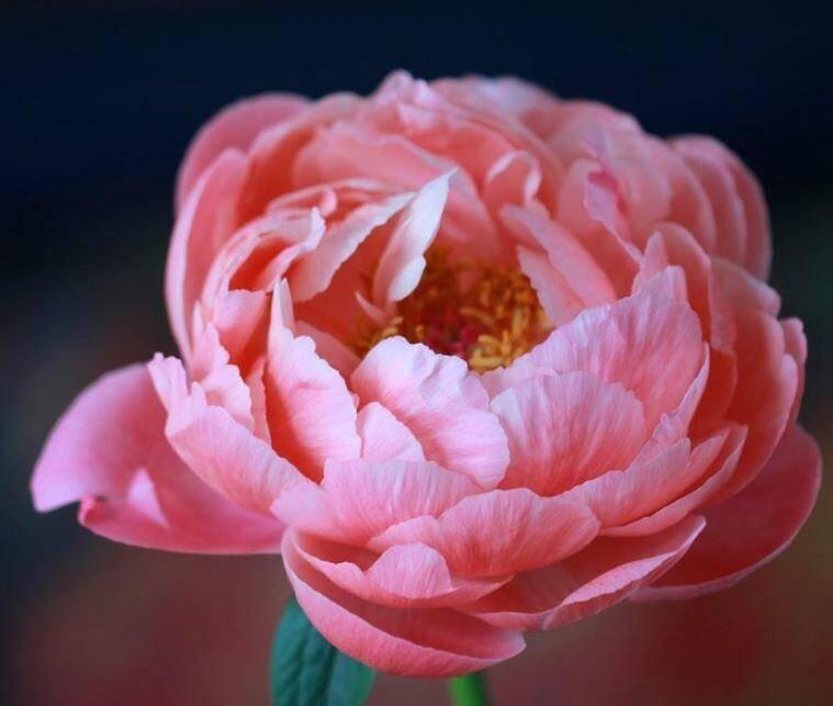 Pour soutenir la filière horticole et notamment les producteurs de pivoines varois, la CCI du Var a lancé un appel aux moyennes et grandes surfaces afin qu'elles accueillent ces fleurs dans leurs rayons.
