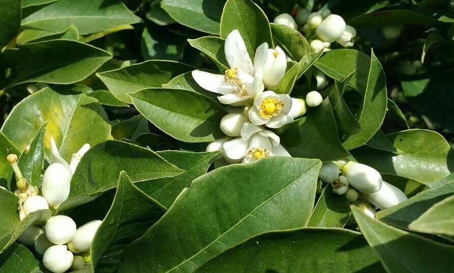 """Comme à """"La Bigarade"""" sur les collines de Golfe-Juan, les odorantes fleurs d'oranger, dont le néroli est issu, s'ouvrent au monde."""