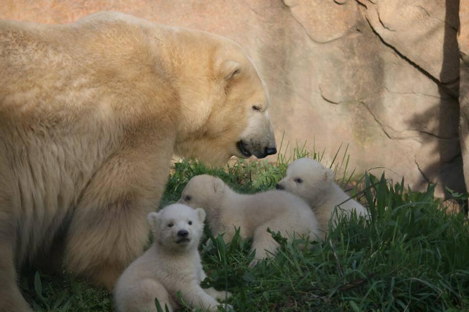 Les trois oursons sont nés quelques jours avant Noël dernier.