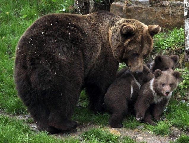 Le nombre d'ours dans les Pyrénées atteint les 50 individus.