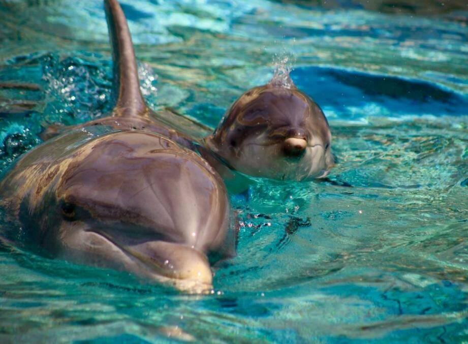 Le delphineau est né il y a tout juste une semaine au sein du parc marin. Signé : la rédaction