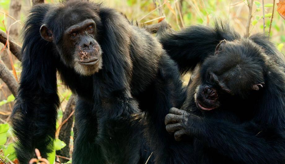 Chimpanzés, le combat des chefs.