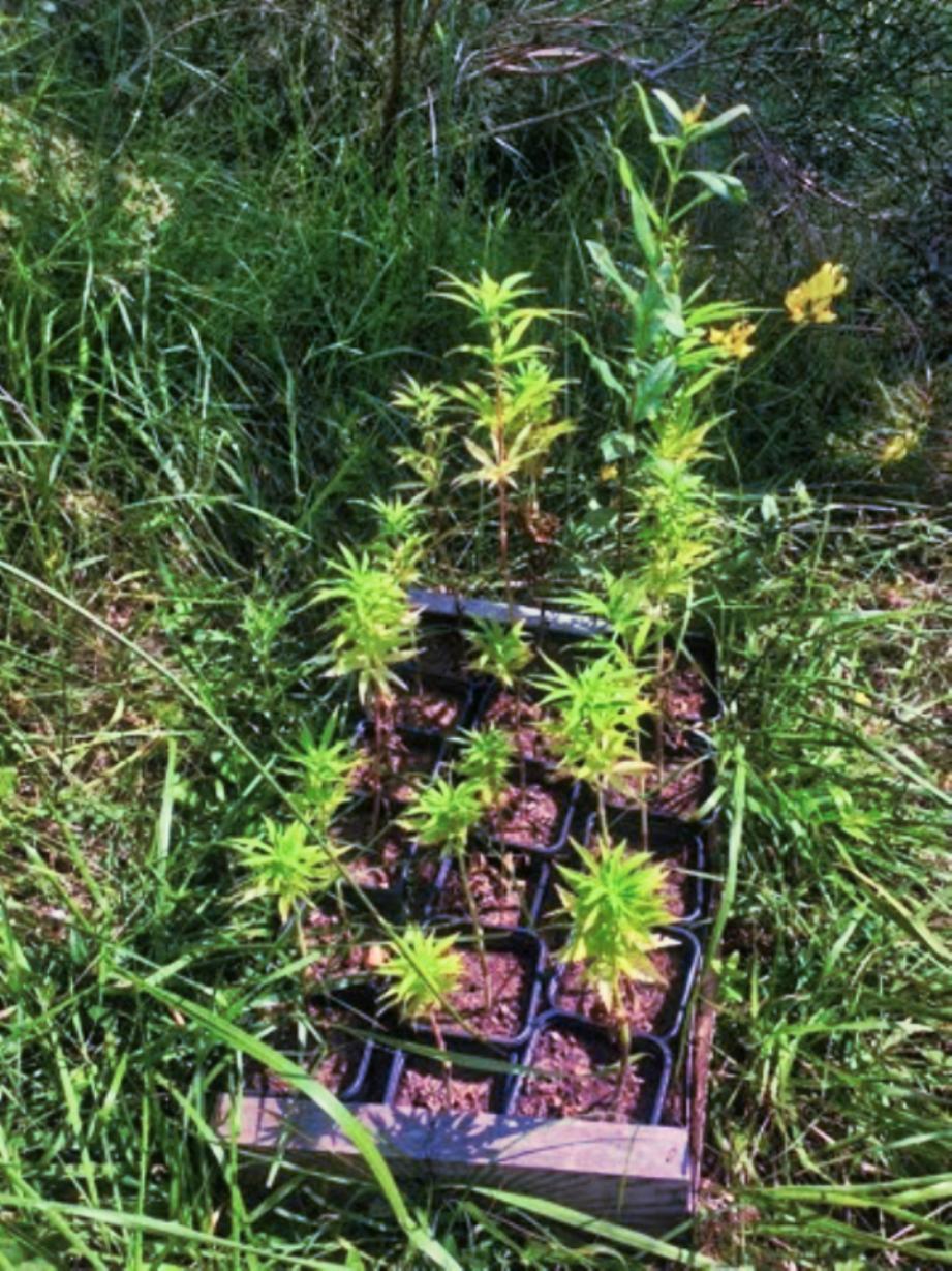 Une partie des 34,5 kg d'herbe de cannabis saisis.