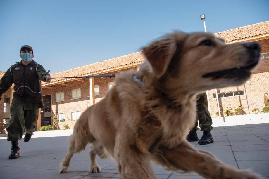 Un membre de la police canine du Chili présente un chien qui va être entraîné à repérer les personnes atteintes du Covid-19.