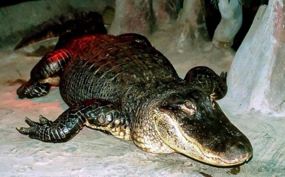 Photo transmise par le zoo de Moscou le 24 mai 2020 de l'alligator Saturne, prise au zoo moscovite à une date indéterminée.