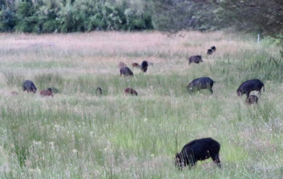 Une trentaine de sangliers se nourrit paisiblement à proximité des touristes.