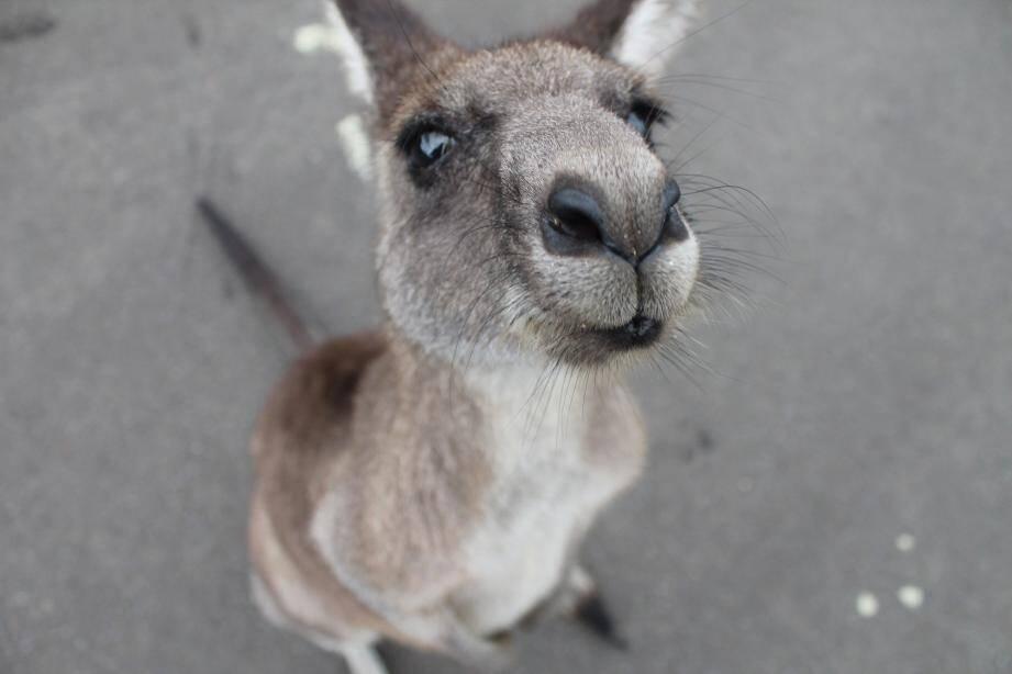 """Un kangourou """"en cavale"""" a semé la panique à Fort Lauderdale en Floride."""