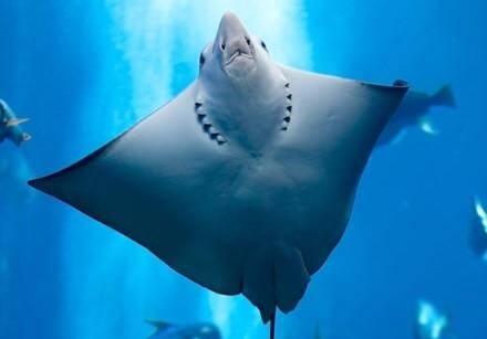 """Ce sont des baigneurs qui ont donné l'alerte lundi vers 16h30. A quelques mètres du bord au milieu des nageurs, une raie dite """" à nez de vache"""", en raison de la forme de sa tête, d'un mètre d'envergure, évoluait à une dizaine de mètres du bord."""