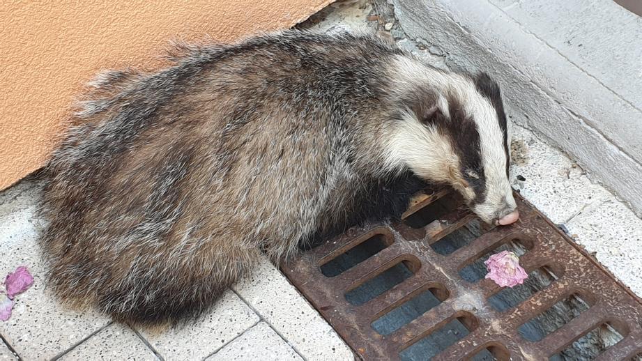 L'animal était endormi contre le mur de la mairie.